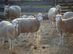 In Sheep\'s Clothing Photo